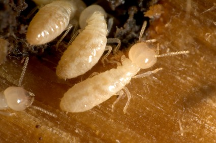 Close up of Subterranean Termites